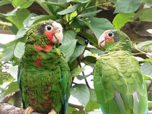 Cayman Parrots